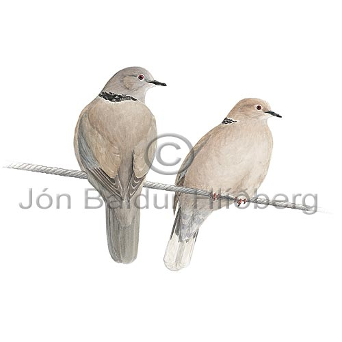 Collard Dove - Streptopelia decaocto - otherbirds - Columbidae