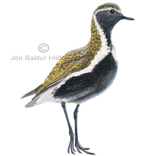 Golden Plover Eurasian Golden Plover - Pluvialis apricaria - Waders - Charadriidae