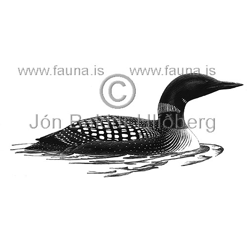 Great northern Diver  Common Loon - Gavia immer - otherbirds - Gaviidae
