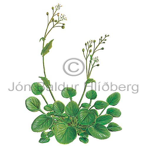 Common Scurvygrass - Coclearia officinalis - Dicotyledonous - Cruciferae