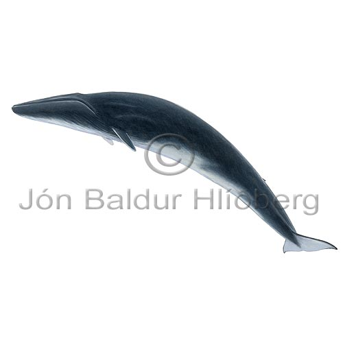 Fin Whale - Balanoptera physalus - Whales - Cetacea