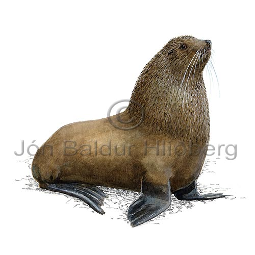 Antarctic fur seal - Arctocephalus gazella - Seals - Pinnipedia