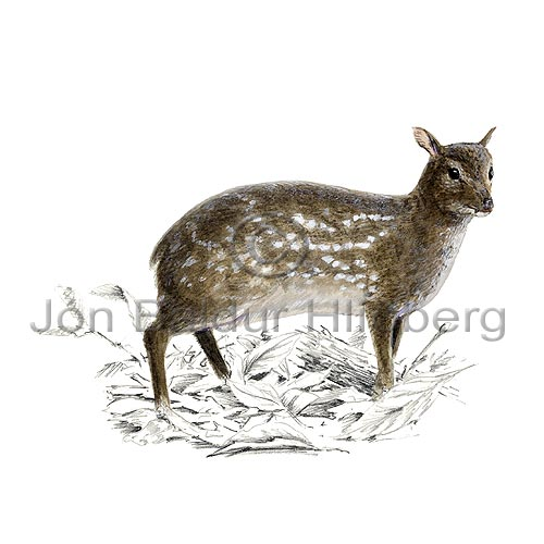 Indian spotted chevrotain - Moschiola meminna - Herbivores - Artiodactyla