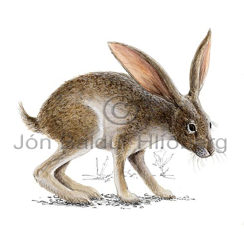 Black tailed jack rabbit - Lepus californicus - Herbivores - Lagomorpha