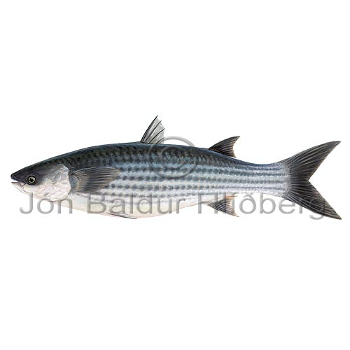 Thick-lipped grey mullet - Chelon labrosus - Perch-likes - Perciformes