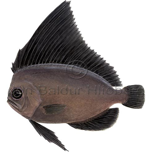 Manefish - Platyberyx opalescens - Perch-likes - Beryciformes