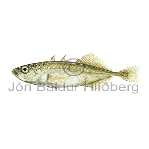 Three spined sticleback - Gasterosteus aculeatus - otherfish - Gasterosteiformes