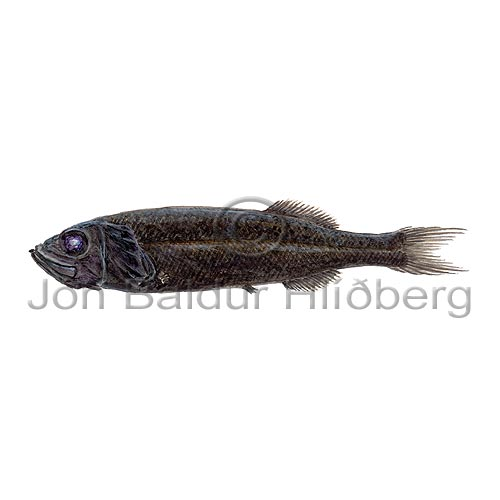 Multipore searsid - Normichthys operosus - otherfish - Osmeriformes