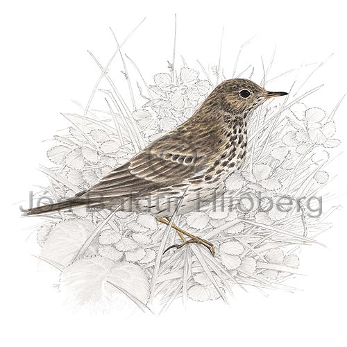 Meadow Pipit - Anthus pratensis - Passerines - Motacillidae