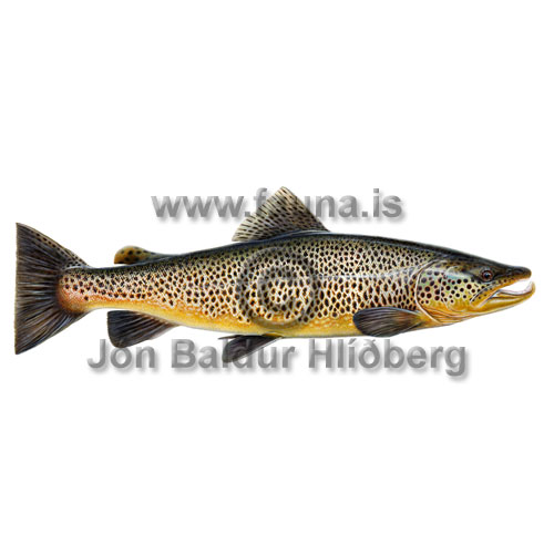 Brown Trout - Salmo trutta - Salmons - Salmoniformes