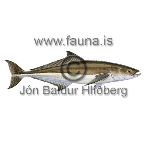 Cobia - Rachycentron canadum - Perch-likes - Perciformes