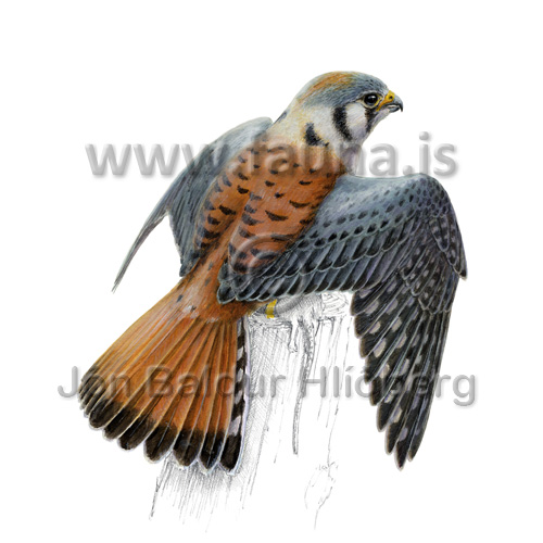 American kestrel - Falco sparverius - otherbirds - Falconidae