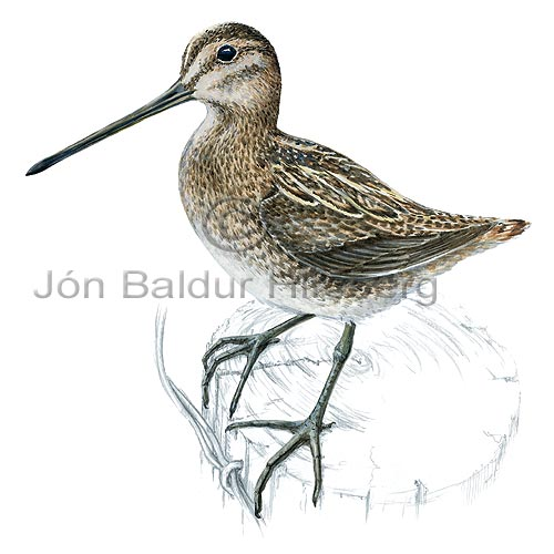 Common Snipe European Snipe - Gallinago gallinago - Waders - Scolopacidae