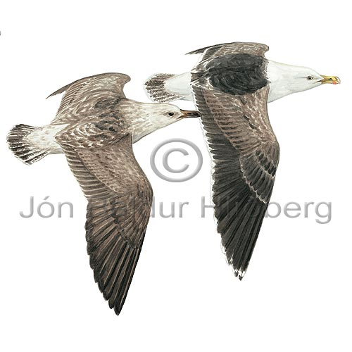 Great Black-backed Gull - Larus marinus - Gulls - Laridae