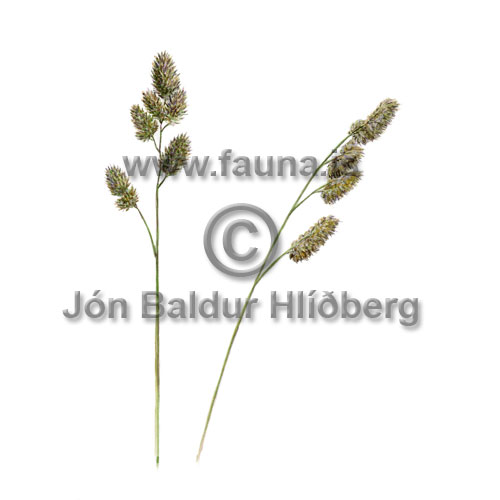 Orchard Grass - Dactylis glomerata - otherplants - Poaceae