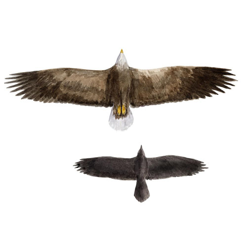 White-tailed eagle, and raven
