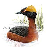 Slavonian Grebe Horned Grebe - Podiceps auritus - otherbirds - Podicipedidae