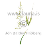 false oat-grass - Arrhenatherum elatius - Veljið category - Veljið subcategory