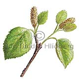 Downy Birch - Betula pubescens - Dicotyledonous - Betulaceae