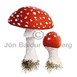 Fly agaric - Amanita muscaria - otherplants - Fungi