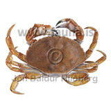 Atlantic rock crab - Cancer irroratus - otherinverebrates - Crustacea