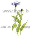 Mountain cornflower - Centaurea montana - Veljið category - Asteraceae