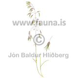 A species of Hair-grass or Tussock-grass - Deschampsia alpina - Monocotyledones - Poaceae