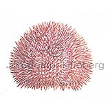 Edible Sea Urchin - Echinus esculentus - otherinverebrates - Echinodermata