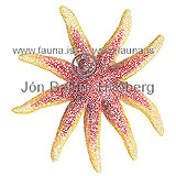 Smooth Sun Star -  Solaster endeca - otherinverebrates - Echinodermata