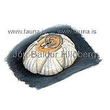 Humpback Barnacle -   - otherinverebrates - Crustacea