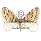 Winter Moth - Operophtera brumata - Insects - Insecta