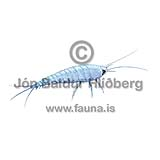 Silverfish - Lepisma saccarina - Insects - Insecta