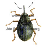 weevil - Ceutorhynchus insularis - Insects - Insecta