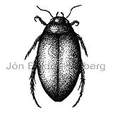 Water beetle - Agabus bipustulatus - Insects - Insecta