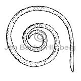 Roundworm sp. - Nematoda - otherinverebrates - Aschelminthes