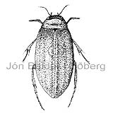 Water beetle -   - Insects - Insecta
