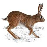 Brown Hare - Lepus capensis - othermammals - Lagomorpha