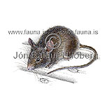 House mouse - Mus musculus - rodents - Rodentia