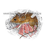 Longtailed field mouse - Apodemus sylvaticus - rodents - Rodentia