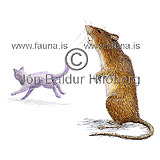 Brown Rat - Rattus norwegicus - rodents - Rodentia
