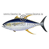 Yellowfin tuna - Thunnus albacares - Perch-likes - Perciformes