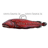 - Flabby whalefish - Gyrinomimus sp. - otherfish - Stephanoberyciformes