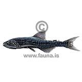 Diamondcheek lanternfish - Lampanyctus intricarius - otherfish - Myctophiformes