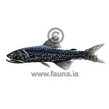 Jewel Lanternfish - Lampanyctus crocodilus - otherfish - Myctophiformes