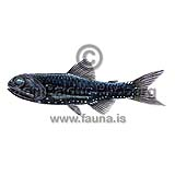 Bolinichthys supralateralis - Bolinichthys supralateralis - otherfish - Myctophiformes