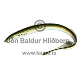 European river lamprey - Lampetra fluviatilis - otherfish - Hyperoartia