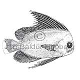 Manefish - Platyberyx opalescens  - otherfish - Beryciformes
