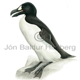 Great Auk - Pinguinus impennis - Alcids - Alcidae