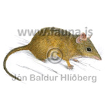 Yellow-footed antechinus - Antechinus flavipes - Marsupials - Dasyuromorphia